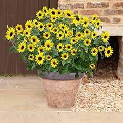 Sunflower Helianthus 'Sunblast'