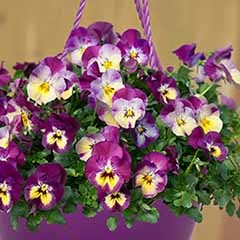 Pansy 'Cool Wave Raspberry Swirl' Mix in a 27cm (11in) Purple Hanging  Basket
