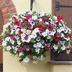 Petunia Surfinia Pre-Planted Baskets