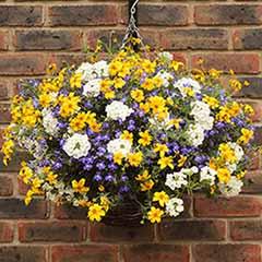 'Sherbet Lemon' Pre-Planted Baskets