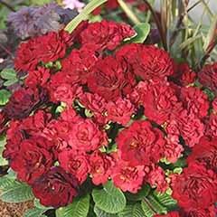 Red Valentine Double Belarina Primrose