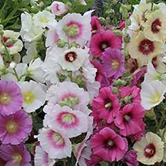 Hollyhock 'Halo' Mix