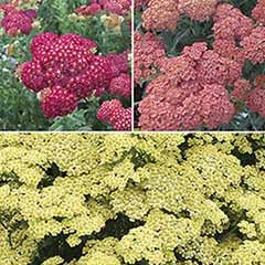 Achillea 'Summer Fruits' collection