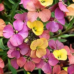 Hardy Wallflower 'Artist's Paintbox'