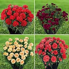 Dianthus 'Sunflor' Collection