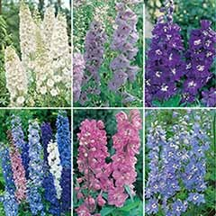 Garden Ready Delphinium Collection
