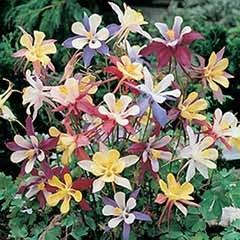 Aquilegia 'Mrs Scott Elliotts Mix'