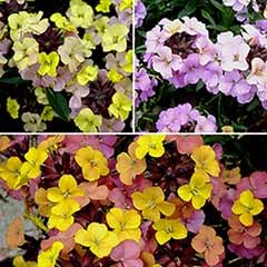 Hardy Perennial Wallflower Collection