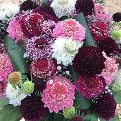 Scabious 'Scoop'