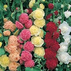 Hollyhock 'Chaters Double' mix 20 Garden Ready Plants