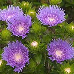 Stokesia laevis 'Blue Star'6 plug plants