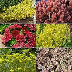 Sedum Carpet Collection x 12
