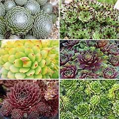 Sempervivum Collection x 6