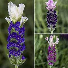 French lavender, Lavandula stoechas 'Castilliano'