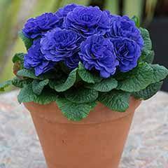 Scented Hardy Primula Prima Belarina (R) 'Blue Champion' 3 Jumbo Plug Plants