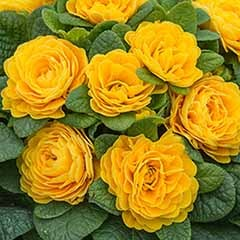 Scented Hardy Primula Prima Belarina (R) 'Goldie' 3 Jumbo Plug Plants