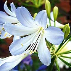African Lily Agapanthus africanus 'Silver Baby'