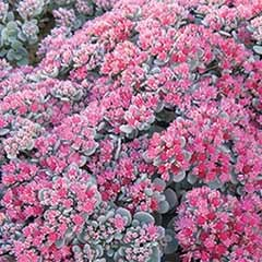 Sedum x cauticola Robustum 'Ruby Glow'