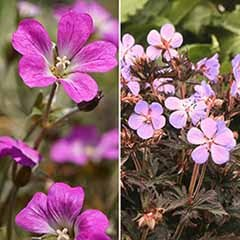 Dark Leaved Hardy Geranium Collection