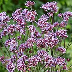 Verbena boanriensis