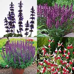 Garden Salvia Collection