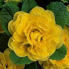 Primula Belarina 'Buttercup'