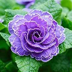 Double Primrose Primula Belarina 'Amethyst Ice'