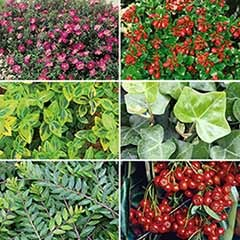 Ground Cover Shrub Collection