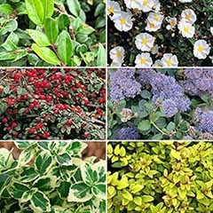 Evergreen Shrub Collection