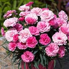 Dianthus 'I Love You'