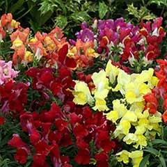 Antirrhinum - Snapdragon - Liberty F1 Mix