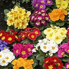 Primrose 'Alaska Mixed' 40 plugs