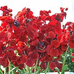 Hardy Wallflowers - 'Fire King'