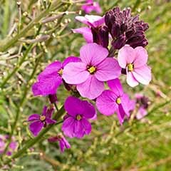 Hardy Wallflowers - 'Giant Pink'