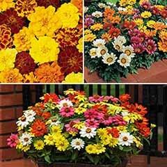 120 Bold & Bright Bedding Plants - Gazania, Marigold & Zinnia
