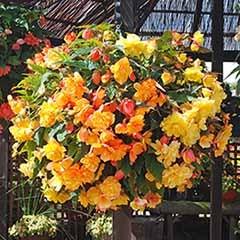 Begonia 'Apricot Shades' Mix