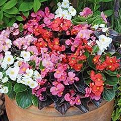 Begonia 'Organdy Mix'