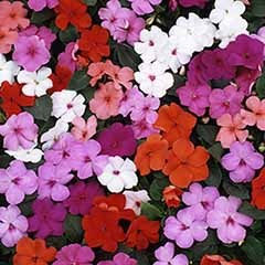Impatiens 'New Guinea Divine'