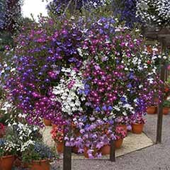 Lobelia 'Fountain Mix'