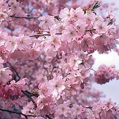 Flowering Cherry 'Accolade' tree