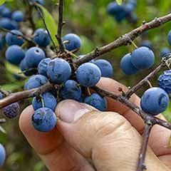 Blackthorn (Prunus spinosa) Hedging