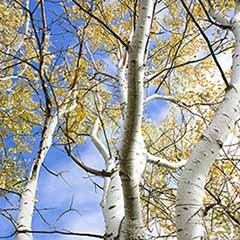 Silver Birch (Betula pendula) 1-1.2M bare root tree