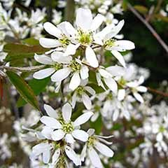 Amelanchier lamarckii (Juneberry) Tree with FREE Planting Kit