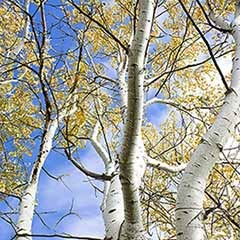 Silver Birch Tree with Tree stake & tie