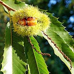 Sweet Chestnut Tree with FREE Planting Kit