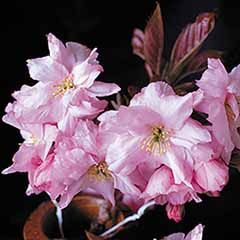 Flowering Cherry Royal Burgundy