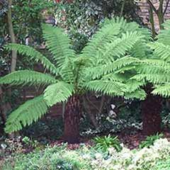Hardy Tree Fern (Dicksonia antarctica) log - 3 foot