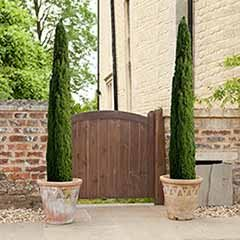 Pair of Italian Cypress trees 80-100cm tall