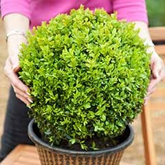 Pair of Buxus Box Balls 30cm diameter