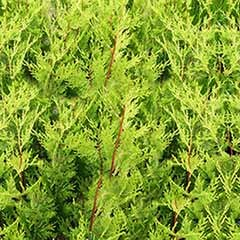 Green Leylandii - evergreen hedging